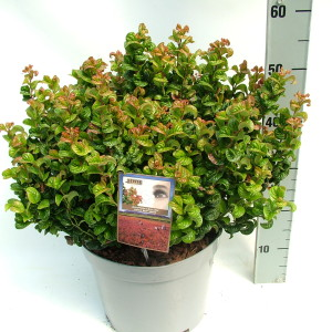 Leucothoe 'Curly Red'R sense P27