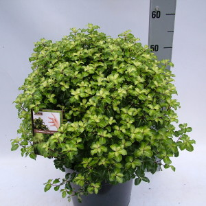 Pittosporum 'Gold Star' sense P27