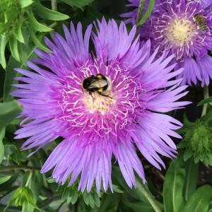 Stokesia 'Purple Parasols' sense bloem met bij en hommel