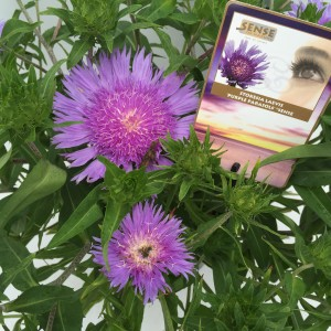 Stokesia 'Purple Parasols' sense detail